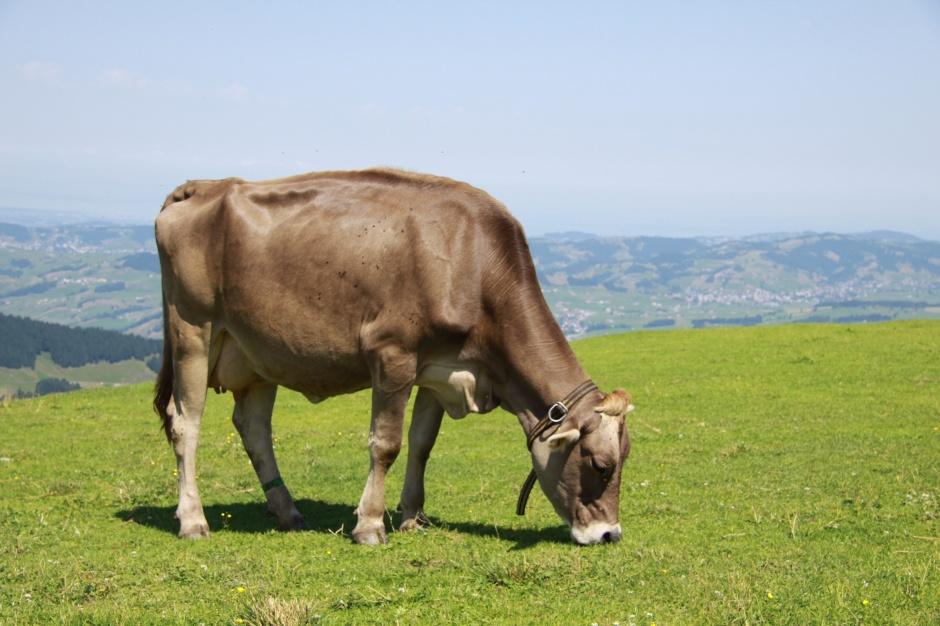 Cow grazing on Ebenalp