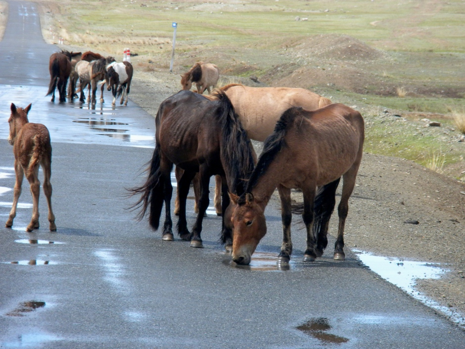 Horses drink from puddles on the road