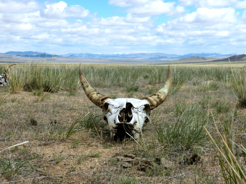 Cow skull in the wilderness