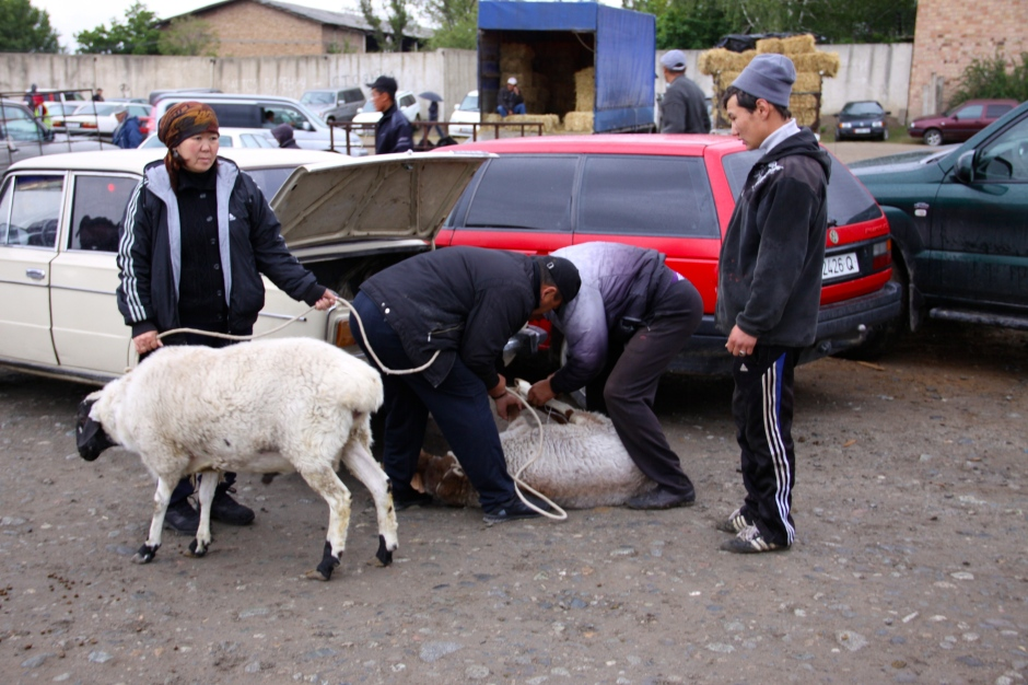 Untying a sheeps legs after it was unloaded from the back of the car