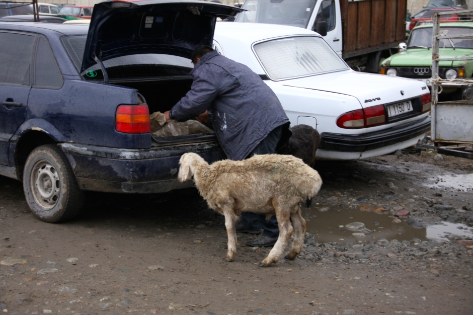 Sheep are brought to market in the trunks of cars