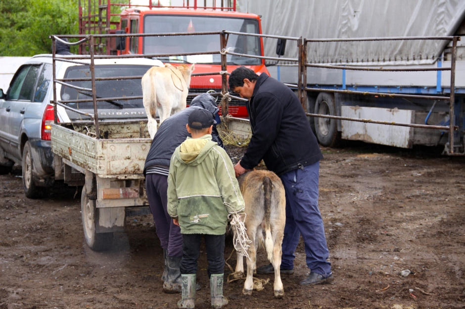 A boy helps with the loading of livestock