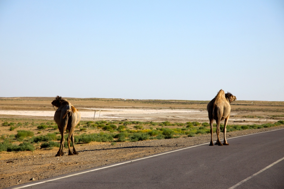 Flat boring desert and camels in the road
