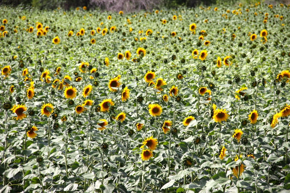 Part of a field of sunflowers