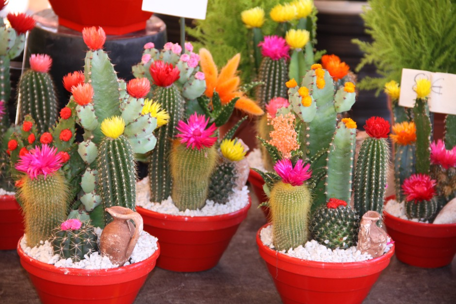 Amazingly vvid colours on these flowering cacti