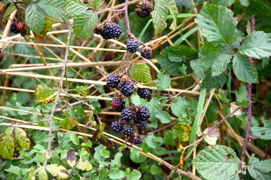 Blackberries growing in the hedgerows