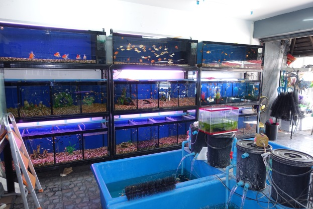 Chiang mai tropical fish stores bermuda rover for Exotic fish store