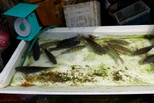 These fish are kept alive until purchase