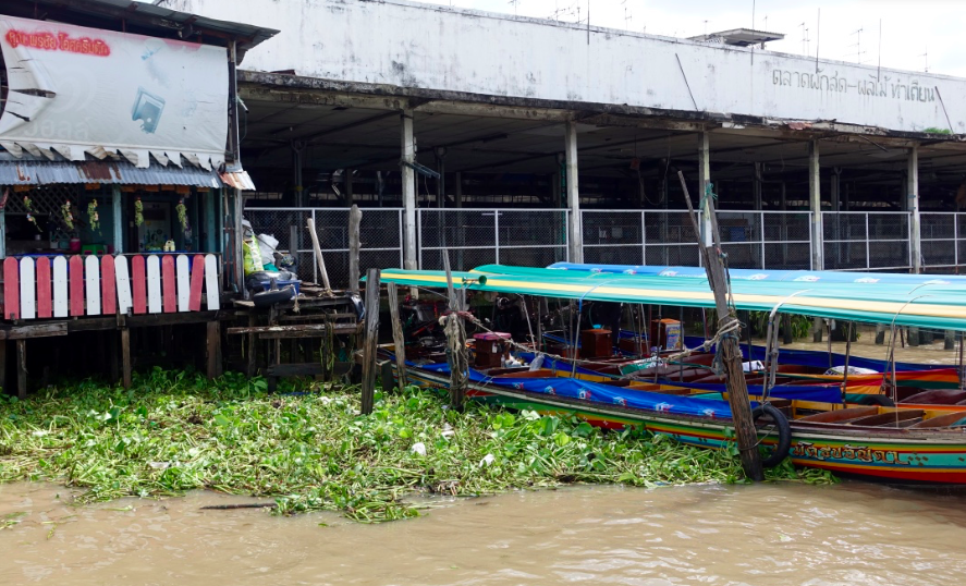 Water hyacinth plants build up next of a longtail boat