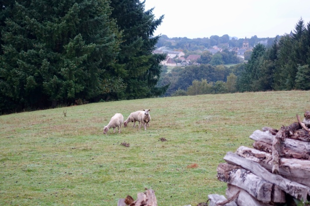 Sheep in neighboring field