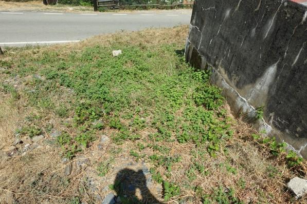 Mint growing wild