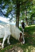 Mountain ponies