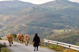 Woman taking her cows home